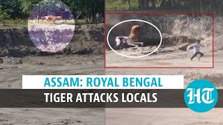 Watch: Royal Bengal Tiger attacks locals after straying out of Assam's forest