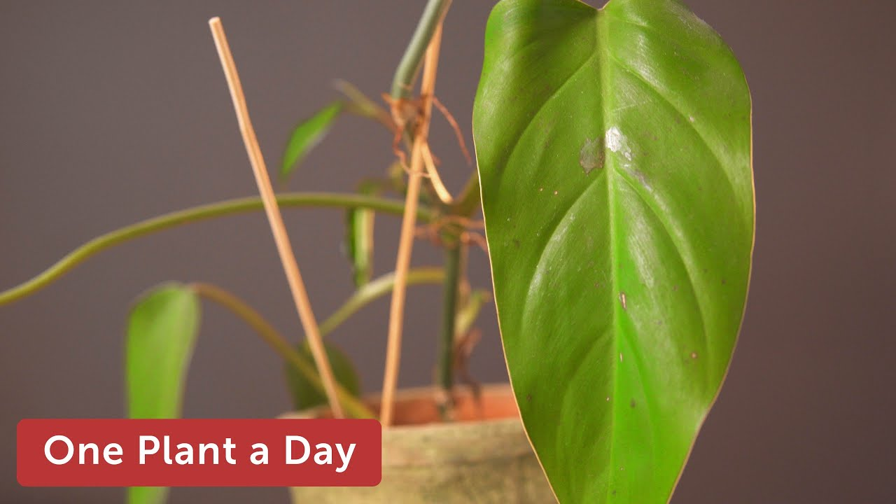 Philodendron erubescens (Red leaf Philodendron) Houseplant Care — on berries red, design red, flowers red, nature red, cactus red, animals red, peppers red, pots red, ornamental grasses red, mums red, orchids red,