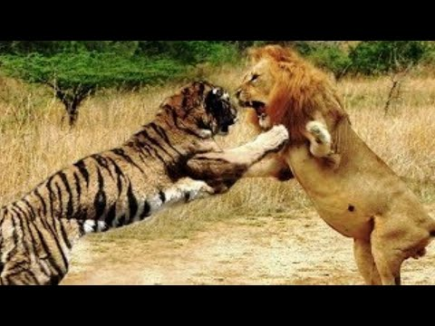 Лев против Тигра - Кто Сильнее? (Реальные Кадры Схваток)