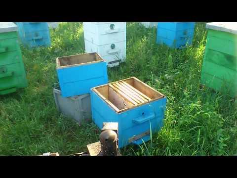 Как избавиться от трутовки в пчелиной семье видео