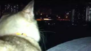 Cat looking at fireworks Thumbnail