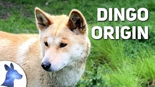 Origin of the Dingo: Australia's Ancient Canine