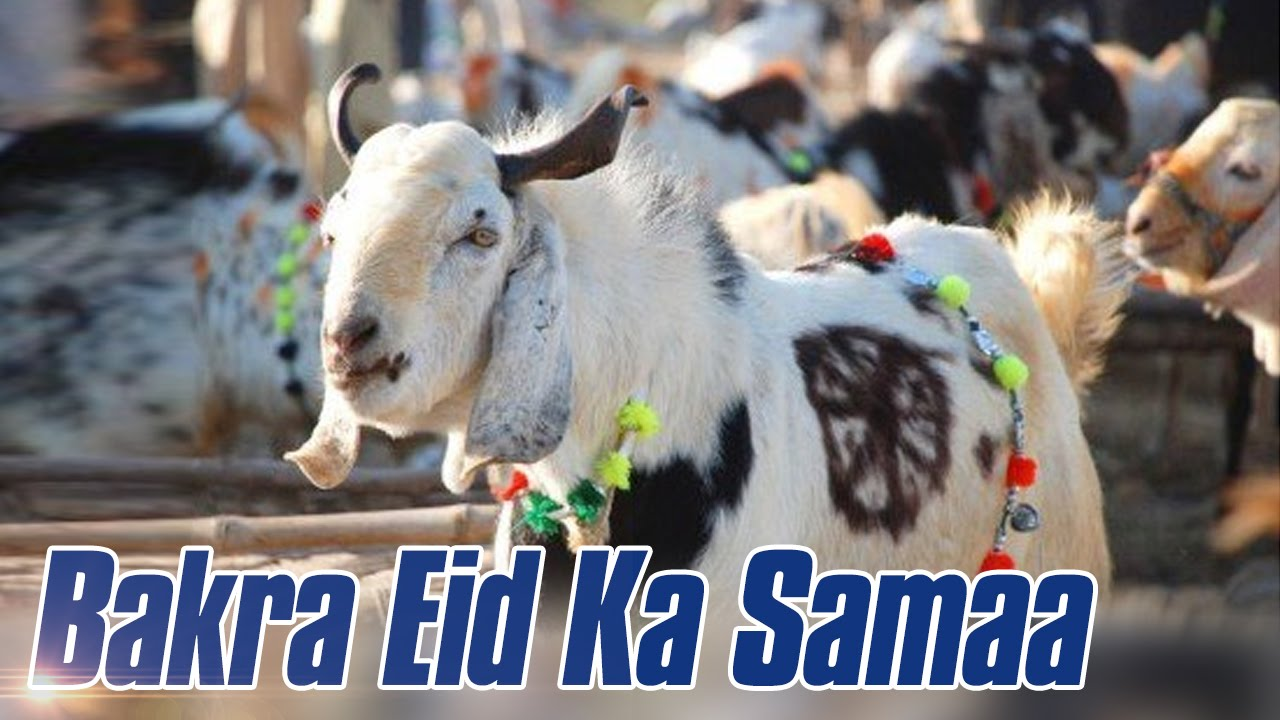 Mandi Ka King Kaun | Bakra Eid Ka Samaa | 31 Aug 2016