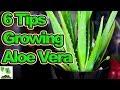 6 Tips To Growing Aloe Vera