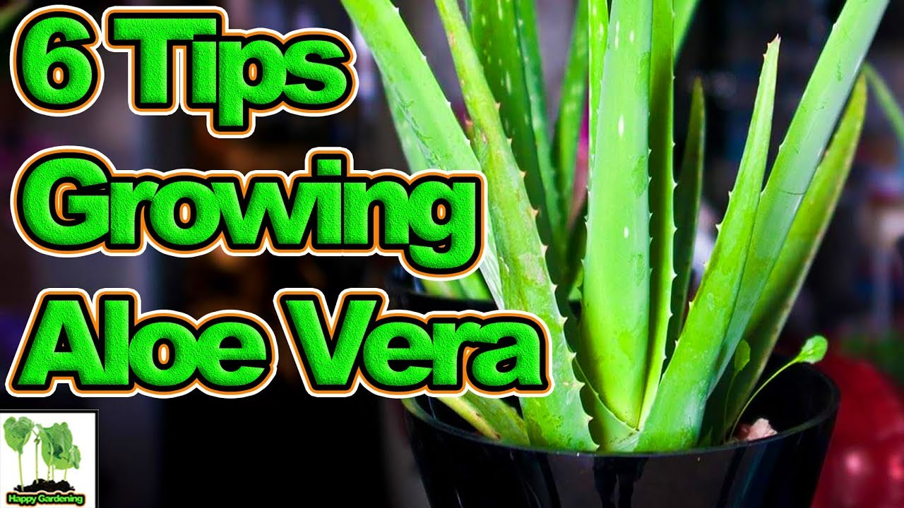 6 Tips To Growing Aloe Vera