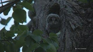 エゾフクロウ物語ド① 1-minute prologue Ural Owl