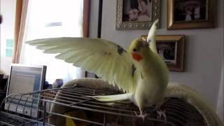 Cockatiel Does BIG EAGLE Trick...