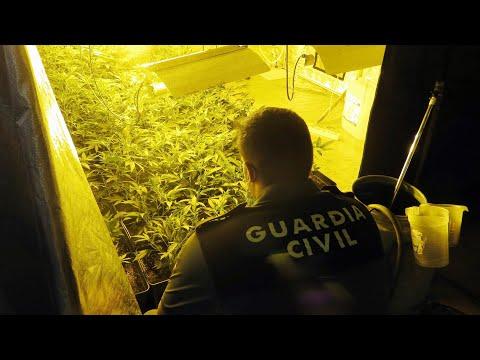 Localizan en Totana una plantación de marihuana en un negocio de compra-venta de vehículos