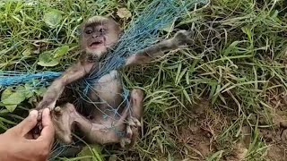 Farmers are rescue the child langoor from net in a farm and return to the mother langoor