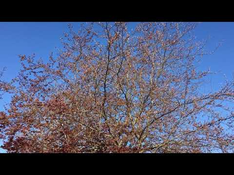 Copper Beech (Fagus sylvatica f. purpurea) - crown - May 2018