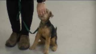 4 month old welsh terrier puppy Greenie has a fun lesson and begins...