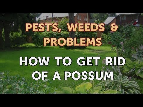 How to Get Rid of a Possum