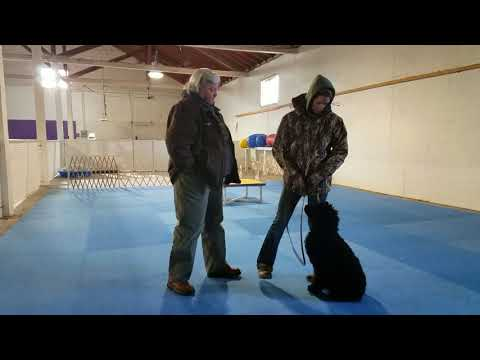 Portuguese Water Dog puppy learning heel