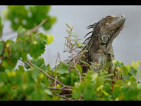 South Florida's iguana population thrives, officials consider methods of management