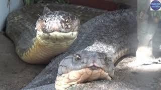 Cặp Rắn Khổng Lồ ở Núi Cấm to cở nào/Giant snakes in vietnam