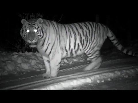Wild Snow Tiger Footage   Operation Snow Tiger   BBC