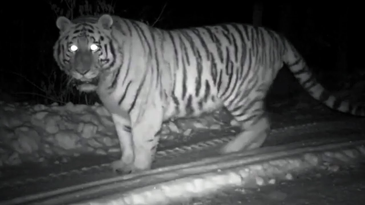 tiger wild snow - photo #29
