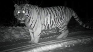 Very Rare Footage Of A Wild Snow Tiger - Operation Snow Tiger - BBC