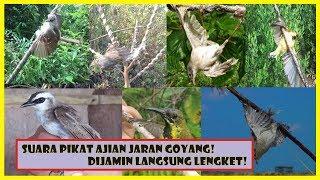 SUARA PIKAT SEMUA BURUNG | KOMPILASI AJIAN JARAN GOYANG DIJAMIN LANGSUNG LENGKET!