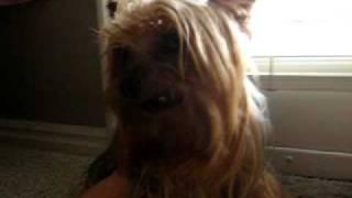 Yorkshire Terrier Barking