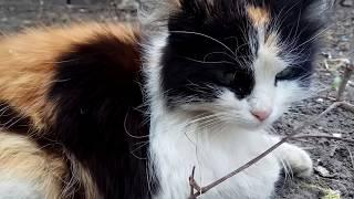 Кот породы КУКИ