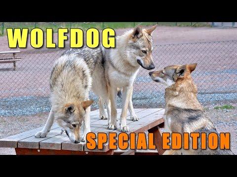 Czechoslovakian Wolfdog Lovec - The Dawg Park Episode V - Wolf Special