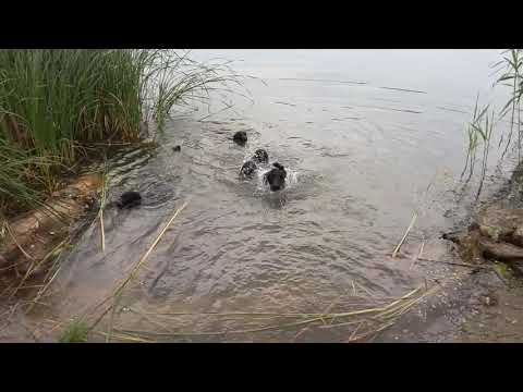 Flat coated retriever puppies & water