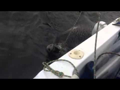 видео: Поймали кабана на реке Кама
