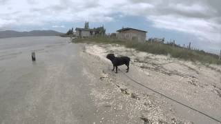 Staffordshire Bull Terrier Angelina Jolie Delta Felix