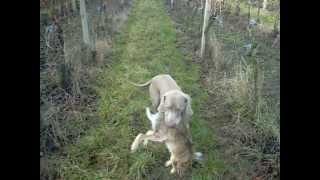 Hunting Dog Weimaraner - Training