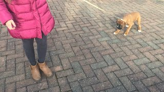 Boxer Pup Coco's First Walk (12 weeks old)
