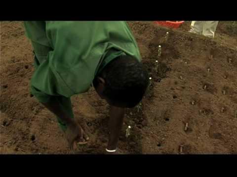 Rapid multiplication of cassava: Part 2 of 2
