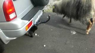 Angry Cat  vs Sheep