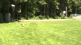 Emma The German Short Haired Pointer Fetches The Dogobie Disc