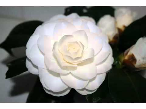 White Camellia | Best Of White Folwer Picture Collection - Phula Pics