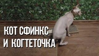Кот сфинкс и когтеточка, как мы приучали кота к когтеточке / Интересные факты о кошках