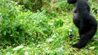 Silverback mountain gorilla charging in Rwanda