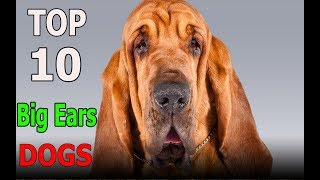 Top 10 dog breeds with Big Ears | Top 10 animals