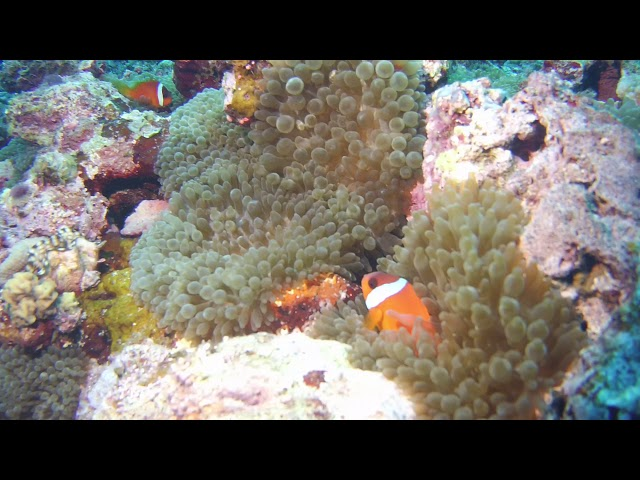 Clown fish video by Laura Tolbird