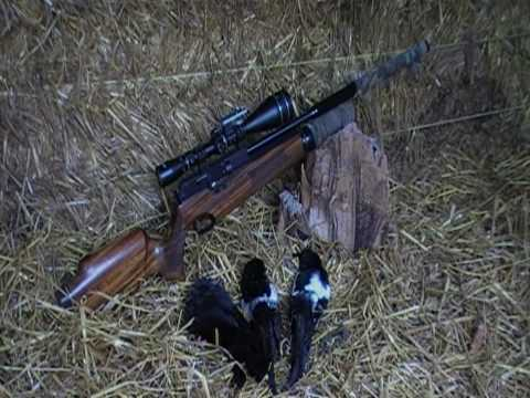 Air Rifle Hunting, Two Magpies And A Jackdaw On The Farm, 2010