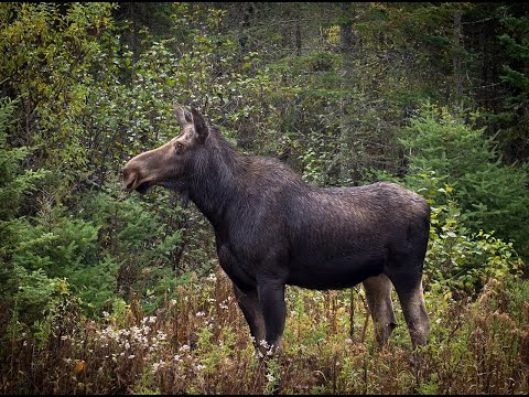Лосиный гон 2019-проверка и выводы!hunting elk on a roar