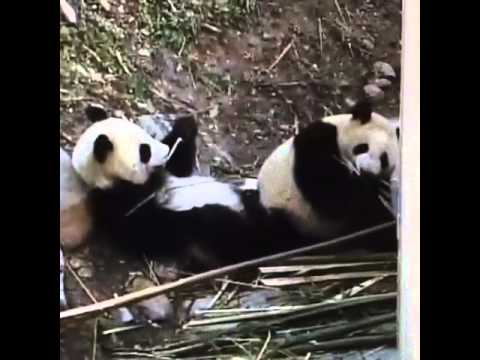 Wolong National Nature Reserve - Panda twins sharing a meal