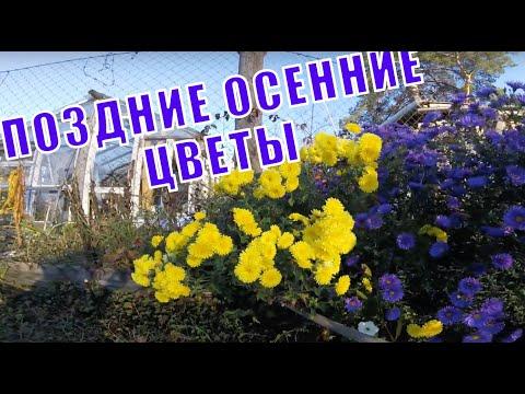 Цветы осенние поздние.Хризантемы желтые и сиреневые.Астры многолетние.Очиток видный.