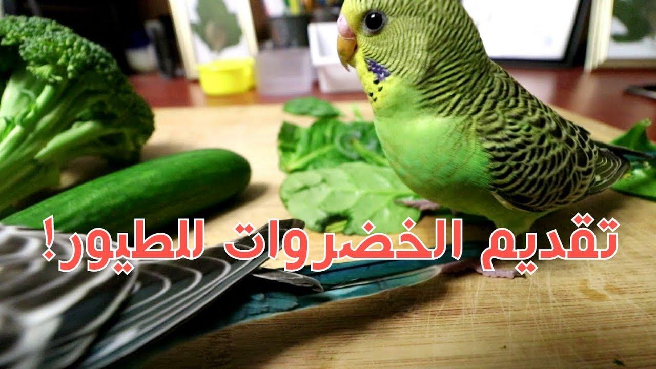 طرق تعليم الطيور على اكل الخضروات منير ليث Youtube