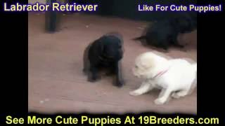 Labrador Retriever, Puppies, For, Sale, In, Louisville,county, Kentucky, Ky,  Richmond, Florence, Ge