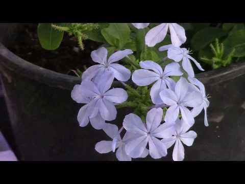 Плюмбаго или свинчатка. Красивое растение для оформления стен дома.