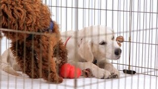 How to Crate-Train Your Puppy   Puppy Care