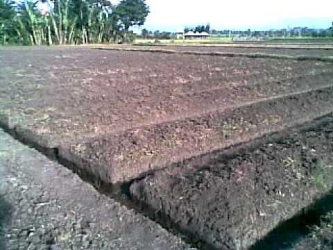 persiapan lahan, budidaya seledri, tanaman seledri,lmga agro, toko online