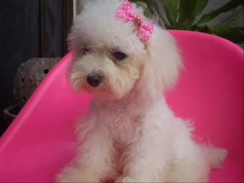 COOL : teacup poodle white color female - YouTube