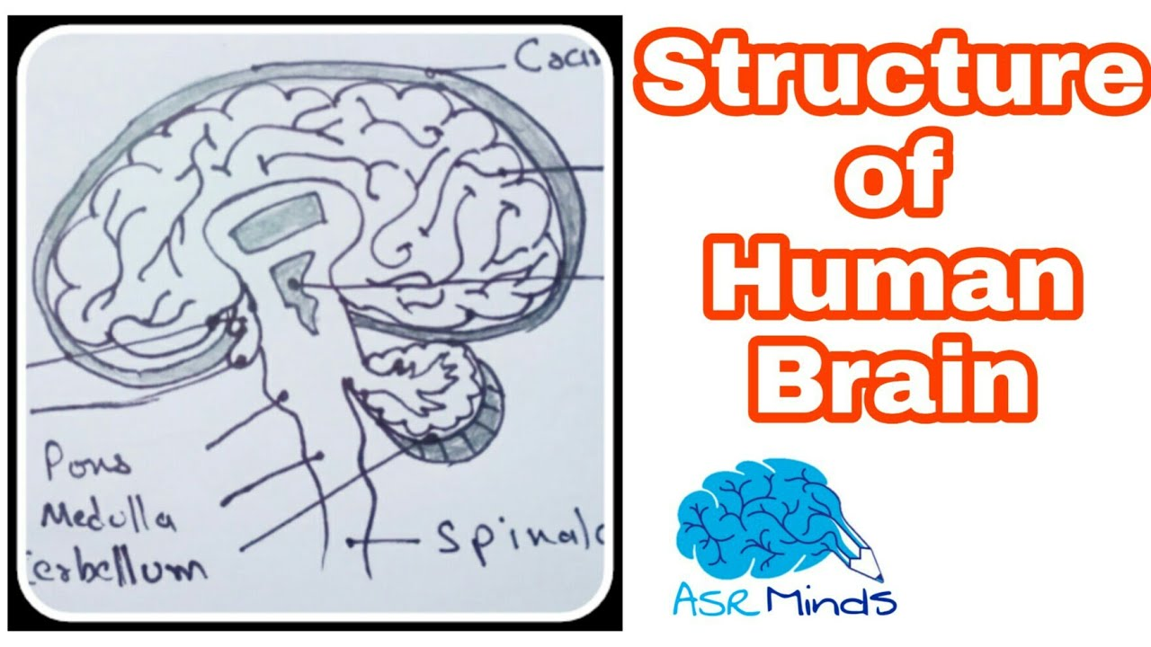How to draw Structure of human brain || easy diagram brain ...